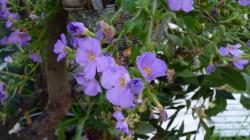 Fleurs cascade bleue