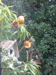 Oiseaux pommes mesange pomme gplan