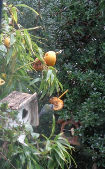 Oiseaux pommes mesange pomme