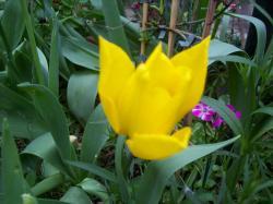 tulipe-j.jpg